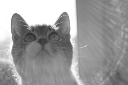 Very cute kitten is looking up with interest. Macro portrait of a cat indoor. Black and white photo
