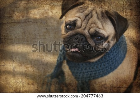Very cute pug dog puppy with blue scarf looking at the camera. Portrait of Beautiful male Pug