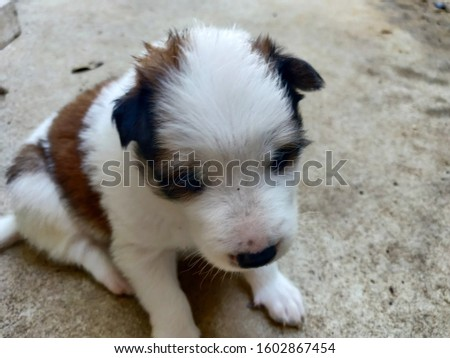Very cute puppy. Puppy have white and brown fur. My puppies mood concept.