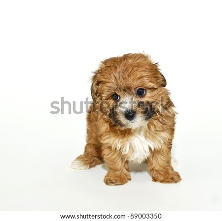 Yorkie  Puppies on Stock Photo   Very Cute Yorkie Poo Puppy On A White Background With