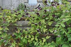 Very dark purple Clematis viticella Black Prince blooms in a garden in July