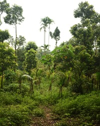 Very dense forest with green trees at Mawlynnong in Meghalaya, India. It is a beautiful village which is notable for cleanliness. Few amount of sunshine are coming through the jungle.