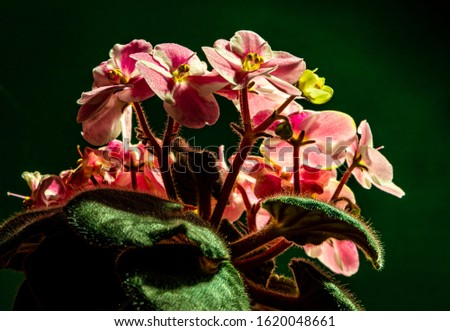 very detailed photo of African violet with small details visible