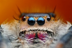 Very detailed view of Phiddipus regius jumping spider with parasite