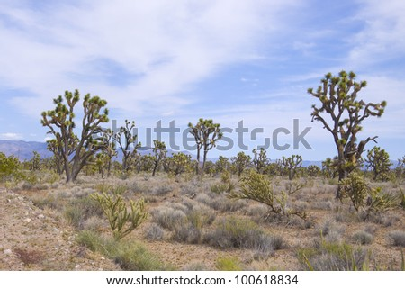 Very dry and arid view of the Joshua tree forest in the Mohave desert in Arizona