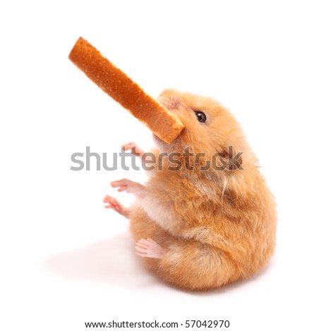 very fanny hamster seats and holds peace of bread in mouth