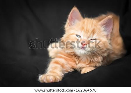 very fluffy playful ginger kitten on a black backgound