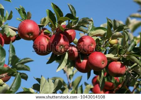 Shutterstock Very fresh apples