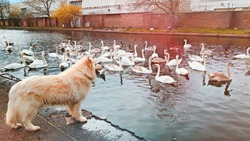 Very friendly dog playing with swans