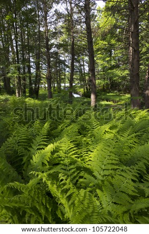 Very green woods in Massachusetts, USA. - stock photo