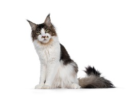 Very handsome young bicolor ticked Maine Coon cat, sitting side ways. Looking annoyed to camera with green eyes. Isolated on white background.