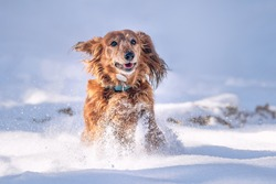 Very happy Long-Haired Dachshund female running and playing in the snow. A dog enjoying cold weather on a beautiful sunny freezing day. Running, jumping, playing with a stick, sprays of snow.
