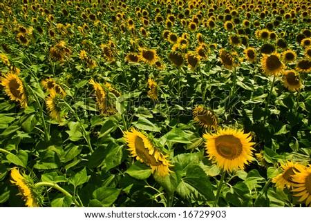 very large sunflower field