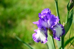very nice colorful iris close up in my garden