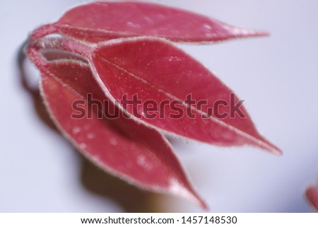 very nice little red leaves, medicinal leaves, thick leaves, the benefits of leaves