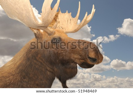 Very Nice Rare Closeup Of a Moose against the Sky - stock photo