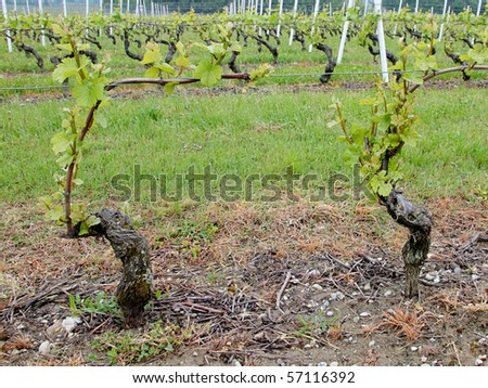very old grapes planted on rows with one grape in focus