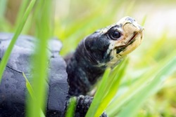Very old gulf coast box turtle side view in the grass showing his white head and dark carapace