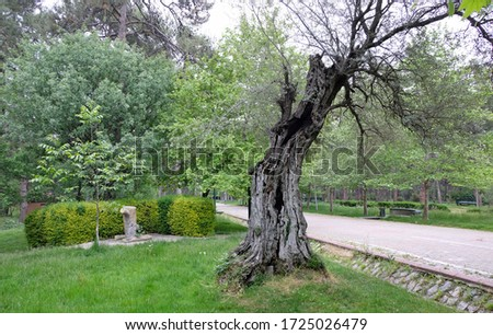 Very old olive tree in a park Stok fotoğraf ©