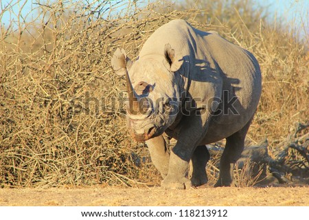 Very rare Black Rhino - walking towards a watering hole on a game ranch in Namibia, Africa.
