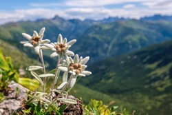Very rare edelweiss mountain flower. Isolated rare and protected wild flower edelweiss flower (Leontopodium alpinum) growing in natural environment high up in the mountains