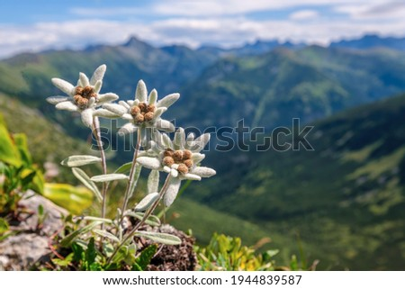 Very rare edelweiss mountain flower. Isolated rare and protected wild flower edelweiss flower (Leontopodium alpinum) growing in natural environment high up in the mountains Foto stock ©