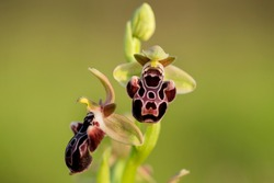 Very rare, endemic Cyprus bee-orchid (Ophrys kotschyi) on xerothermic grassland