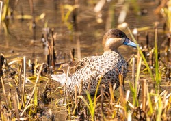 Very rare shot of a versicolor teal (Spatula versicolor) on a small pond in Germany. This species is not normally native to Germany and is the first sighting in the wild in Germany.
