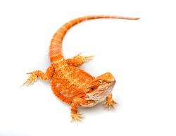 Very red beard dragon