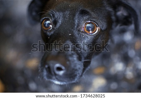 Very sad small dog breed scared of camera staring at his owner with fear, hiding under table. Foto d'archivio ©