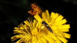Very small flower fly sitting on a yellow dandelion and taking pollen.