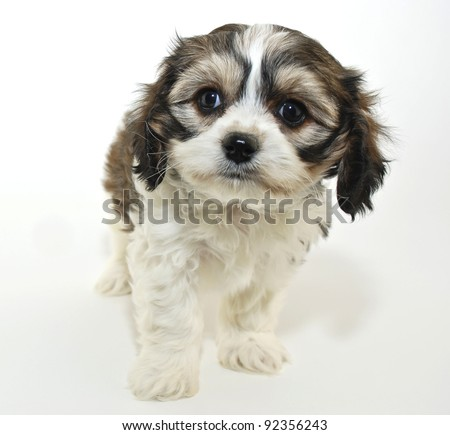 Very Sweet Cavachon puppy on a white background.