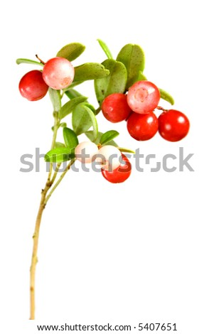 very tasty lingonberries isolated on white