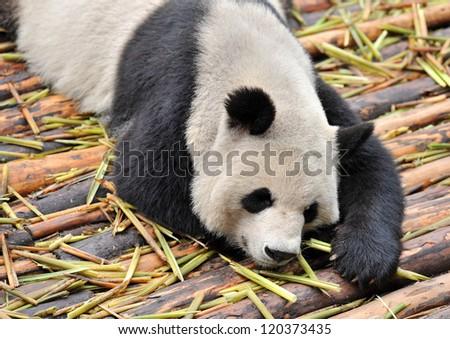 Very tired and sleepy panda