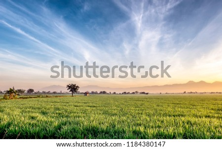 Very vast, broad, extensive, spacious rice field, streched into the horizon.   Behind it is a line of hills and mountains that also expansive.  Group of tree in far away.  Beautiful cloud and blue sky #1184380147
