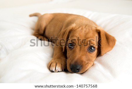 Very Young Dachshund and Hound mix Puppy Relaxing on White Bed