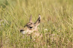 Very young pronghorn fawn hiding in the tall grass just after nursing in Yellowstone National Park