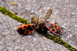 Vespula germanica, European wasp, German wasp, or German yellowjacket is feeding on Pyrrhocoris Apterus, firebug, red firebug, linden, sap sucking, red soldier bug