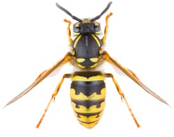Vespula vulgaris, known as the common wasp or European wasp or common yellow-jacket isolated on white background. Dorsal view of wasp.