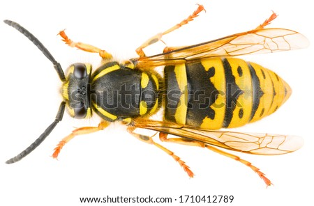 Photo of  Vespula vulgaris, known as the common wasp or European wasp or common yellow-jacket isolated on white background. Dorsal view of wasp Vespula vulgaris.