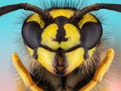 Vespula vulgaris. Wasp head Macro Shot Hot. Extreme macro shot Ireneusz Irass Waledzik.