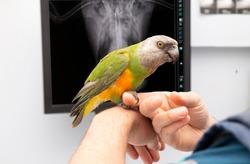 vet and bird examination x ray of a parrot at a vet clinic