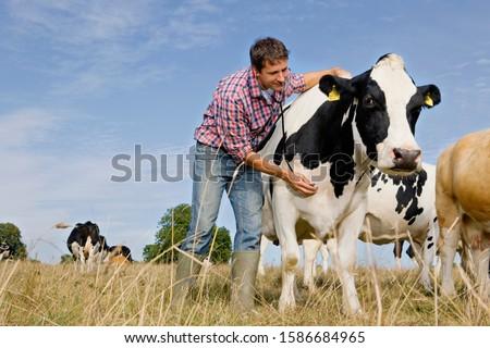 Vet Examining Fresian Cattle In Field