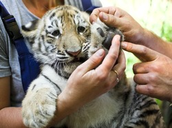 Vet Examining young tiger(2 m)  in zoo