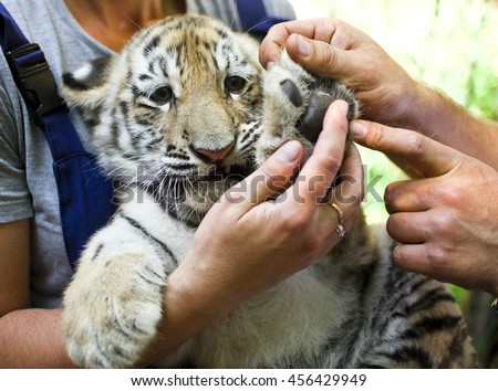 Vet Examining young tiger(2 m)  in zoo #456429949