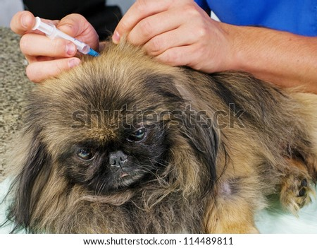 Vet giving an injection to a pekingese