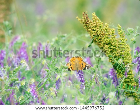 Vetch (Vicia sp. possible Vнcia cracca) and dock (Rumex) and painted-lady butterfly in meadow on edge of forest, mountain meadows, climbing plants . Valley of river Pshish, Main Caucasian ridge