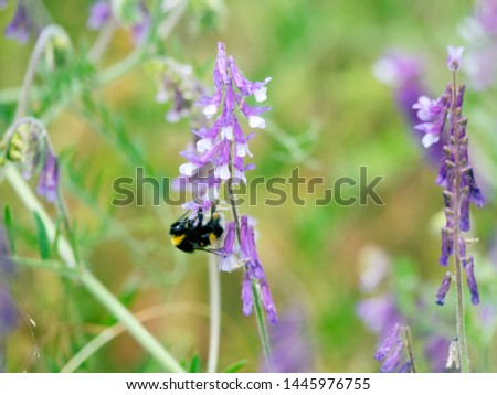 Vetch (Vicia sp., Vнcia cracca) and bumblebee in meadow on the edge of the forest, mountain meadows, climbing plants . The valley of the river Pshish, the Main Caucasian ridge