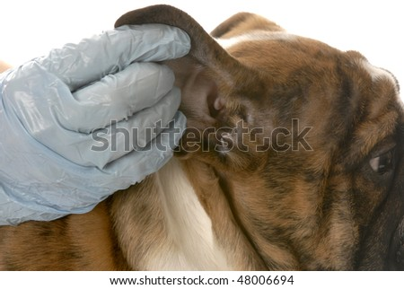 veterinarian checking dogs ear in health examination on white background