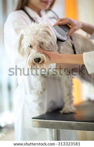 Veterinarian checking microchip implant on Maltese dog in vet clinic